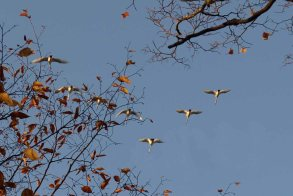 Trumpeter swans, Manistee River, October 2016