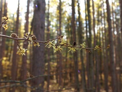 Witch Hazel, Manistee River Trail, Lower Peninsula, October 2016