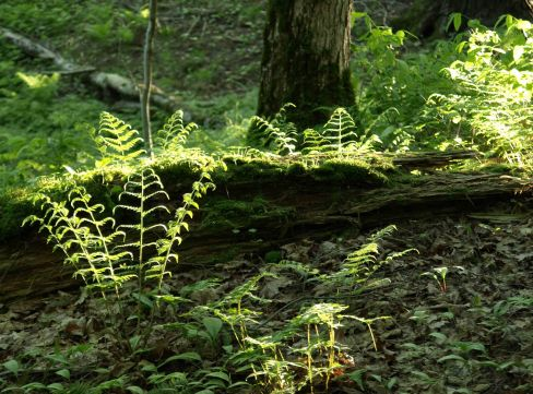 Forest Floor, Porcupine Mountains, Upper Peninsula