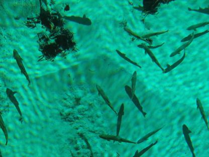 Trout in Kitch-iti-kipi, Upper Peninsula