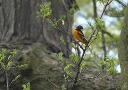 Spring Oriole in the Sugar Maple, Mid-Michigan